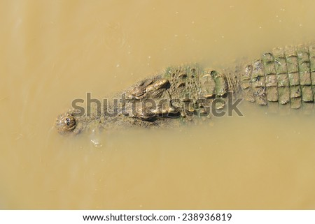 crocodile in water, soft focus - stock photo