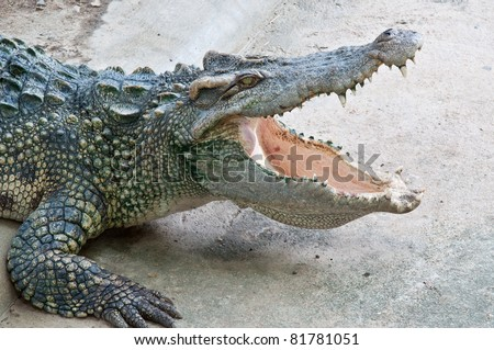 crocodile is opening mouth - stock photo