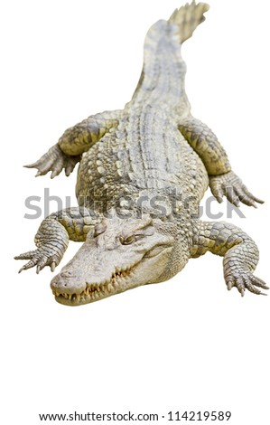 Crocodile isolated on white with clipping path - stock photo