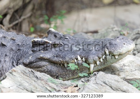 Crocodile laying on rock - stock photo