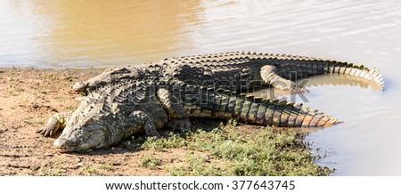Crocodile lays on the coast of a lake - stock photo