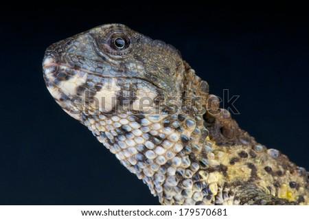 Crocodile lizard / Shinisaurus crocodilurus - stock photo