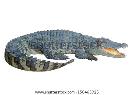 Crocodile looking something with clipping path - stock photo