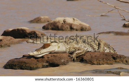 Crocodile lying on a rock in lake Baringo