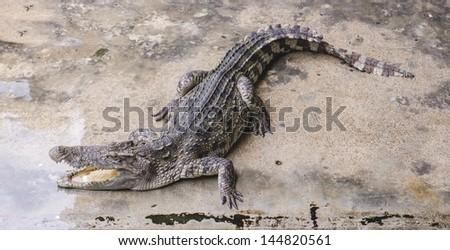 Crocodile on a farm, Thailand - stock photo