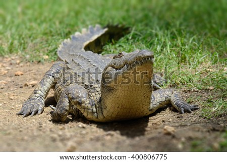 Crocodile on river coast. Kenya, Africa - stock photo
