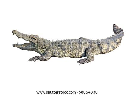 crocodile on white background - stock photo