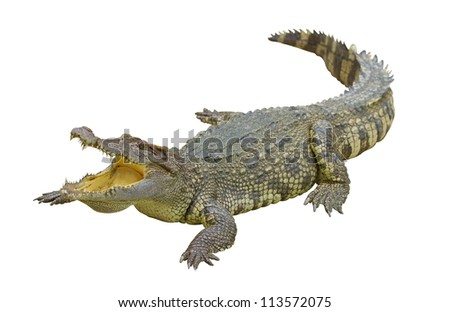 Crocodile on white background with clipping path. - stock photo