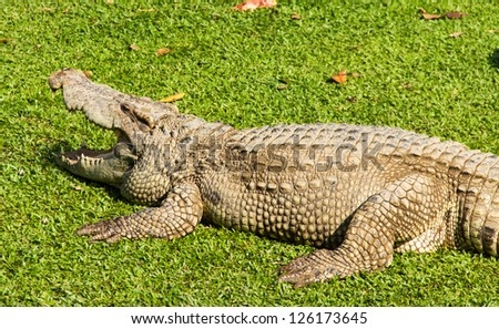 Crocodile opening the mouth resting on the grass - stock photo