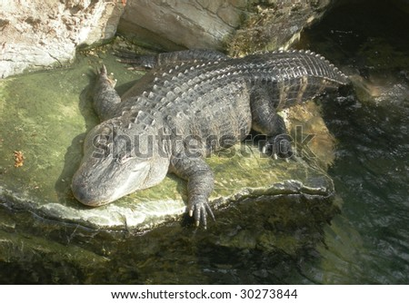Crocodile reptile in a pool of water - stock photo