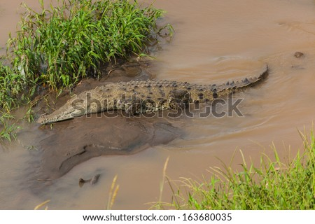 Crocodile resting on a river bank - stock photo