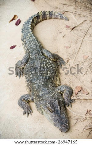 Crocodile resting on a sand bank - stock photo