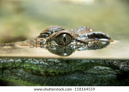 Crocodile's eye reflects in water - stock photo