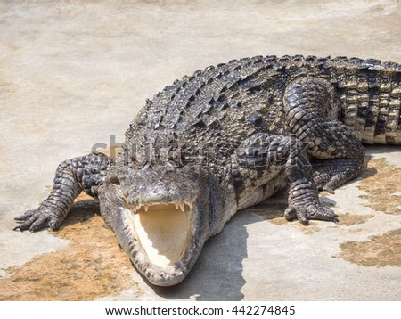 Crocodile's jaw looked threatening and vicious. - stock photo