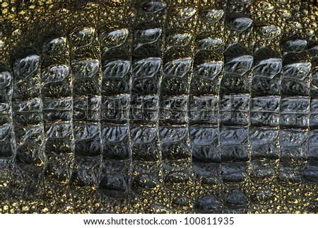 Crocodile skins - stock photo