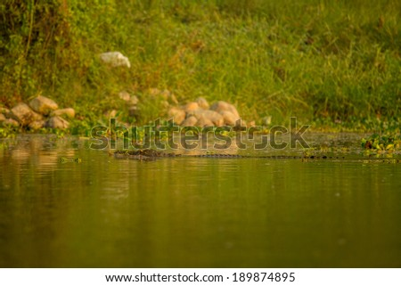 crocodile spotted at river. - stock photo