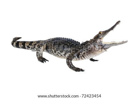 Crocodile stuff isolate on the white. - stock photo