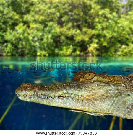 Crocodile swimming in mangrove swamp up down waterline [Photo Illustration] - stock photo
