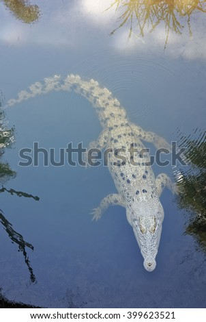 crocodile swimming with eyes out of the water - stock photo