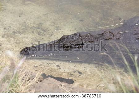 Crocodile under water - stock photo