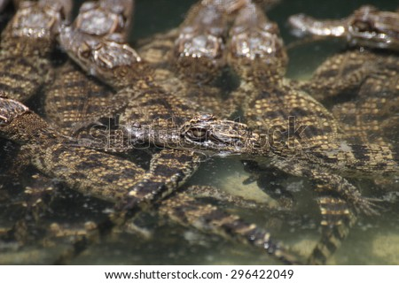 Crocodile with head above water. - stock photo