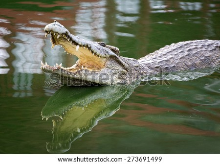 Crocodile with open mouth. - stock photo