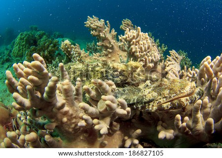 Crocodilefish hides on Coral
