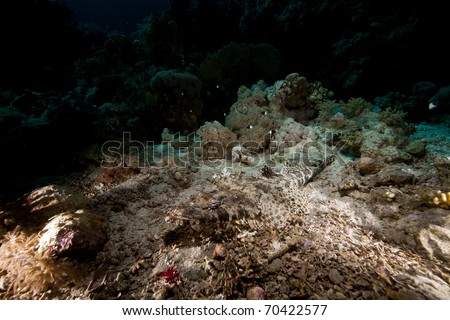 Crocodilefish  in the Red Sea