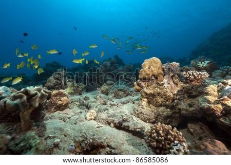 Crocodilefish in the Red Sea. - stock photo