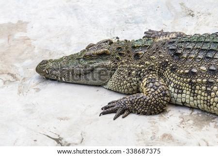 crocodiles - stock photo