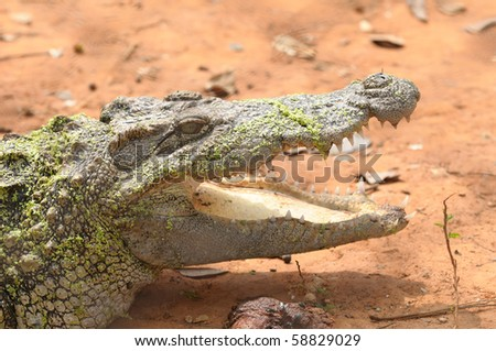 Crocodiles are reptiles that love is the river This is a dangerous animal.