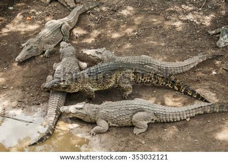 Crocodiles awaiting a meal in a farm in Cuba. - stock photo