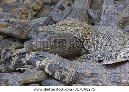 Crocodiles chilling out on the Sun  at breeding farm in Siem Reap, Cambodia