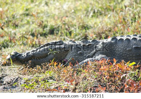 crocodiles or true crodiles are large aquatic reptiles that live throughout the tropics in africa,asia, the americas and australia ,order Crocodilia, which includes Tomistoma ,