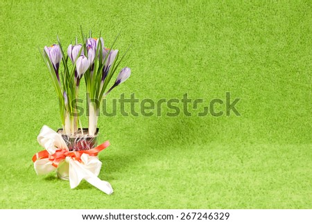 Crocus bouquet. Beautiful flowers on a light green background. Crocus striped beauty with its grass like leaves in the process of blooming. Spring flowers. Flower pot with violet crocuses on a table. - stock photo