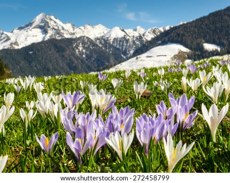 Crocus field with mountains in the background - stock photo