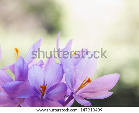 Crocus flower. - stock photo