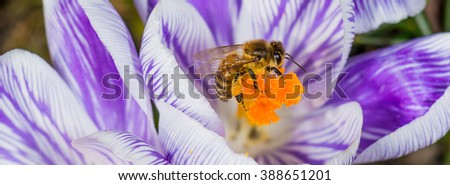 Crocus flower close up in spring with a honey bee - stock photo