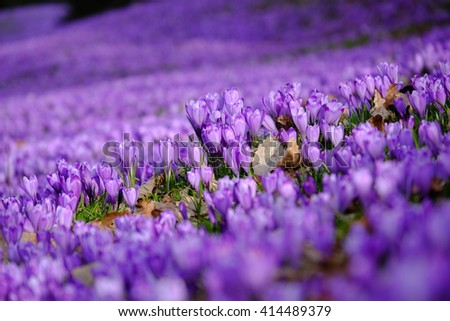 Crocus flower field