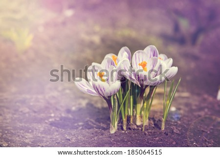 crocus flower growing out of the garound. toned photo