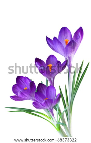 Crocus flower in the spring isolated on white - stock photo