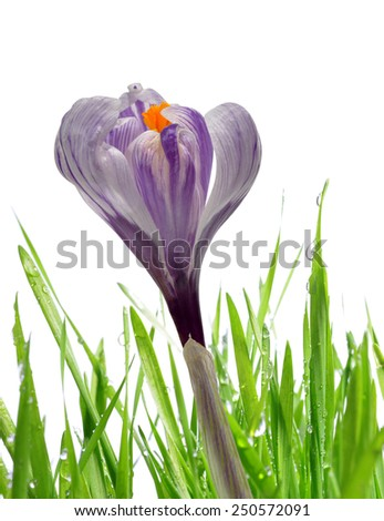 Crocus flower with dewy green grass on white background - stock photo