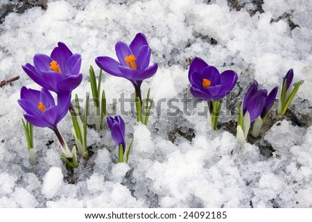 Crocus flowers blooming through the melting snow in the spring. - stock photo