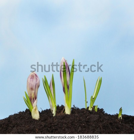 Crocus flowers growing in soil against a blue sky with light hazy clouds