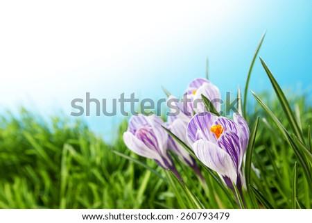 Crocus flowers in fresh spring grass under blue sky - stock photo