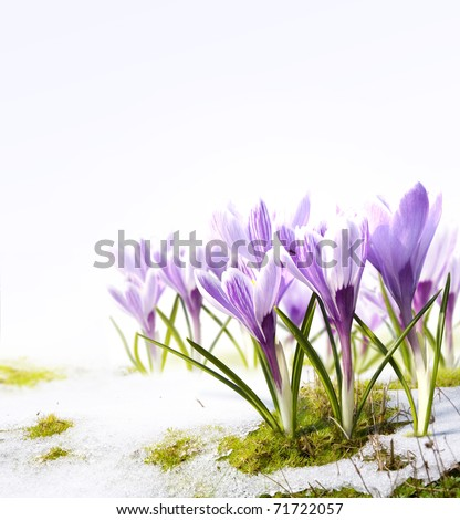 crocus flowers in the snow Thaw - stock photo