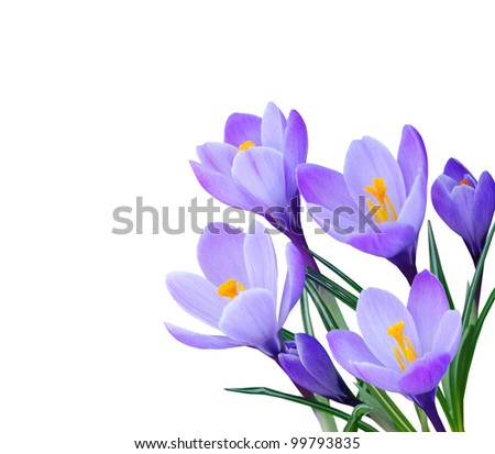 Crocus flowers in the spring - stock photo