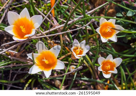 Crocus flowers in the sunshine. Spring on the island of Mykonos, Greece. - stock photo