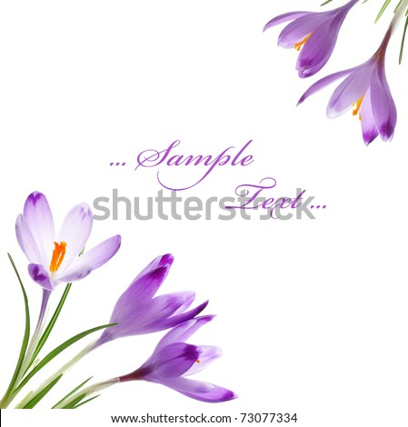 Crocus flowers, isolated on white