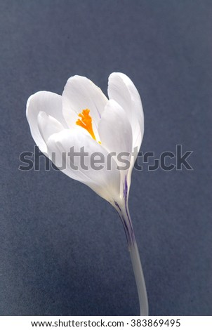 Crocus flowers on grey background native united kingdom plants and flora.